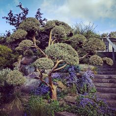Luma apiculata - cloud pruning