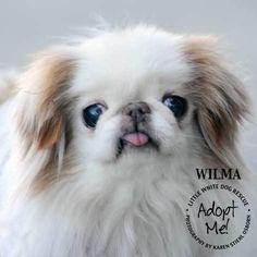 Japanese Chin - Wilma is an adoptable Japanese Chin searching for a forever family near Omaha, NE. Use Petfinder to find adoptable pets in your area.
