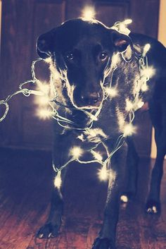 My only fear would be that Doggerz would try to eat the lights!  Dog Christmas photo