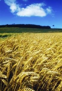 5 Freaky Facts you need to know about wheat