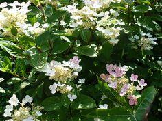 Hydrangea, Hortensja: Hydrangea paniculata 'Bulk' EARLY SENSATION syn. Quick Fire. Hydrangea Paniculata, Fire, Plants, Plant, Planets