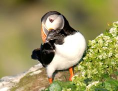 Atlantic Puffin ( L: Fratercula arctica / N: Lundefugl ), photo taken in the Varanger Peninsula - Northern Norway by nordfold.deviantart.com.