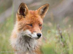 Fox Face, Red Fox, Foxes, Wildlife, Van, Photos, Animals, Pictures, Animales