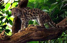 O gato maracajá é o único felino da América cujas articulações giram o suficiente para ficar de cabeça para baixo em árvores com as patas voltadas para o tronco, como um esquilo.