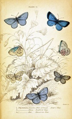 A set of 5 different vintage looking butterfly printables.  I think they're bookplates???