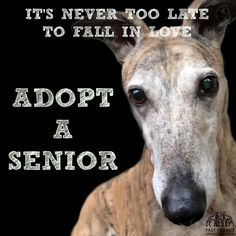 This is Jacoby, a 7 year old greyhound here at Fast Friends. He wants to encourage everyone to consider adopting a senior! Greyhound Rescue, Rescue Dogs, Animal Rescue, Greyhound Art, Greyhound Pictures, Dog Pictures, Old Dog Quotes, Lurcher, Grey Hound Dog