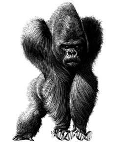 Angry Gorilla Drawing