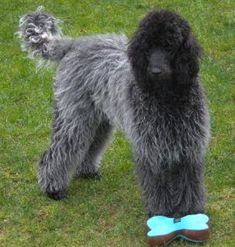 """""""Tova's colouring is sable. When the coat is short she looks like a dark blue/black but as her coat gets longer she goes silver!"""""""