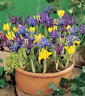 First Flowers of Spring - Early Spring Flowers that will bring beauty to your home and yard well before other bulbs are popping up.