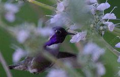 costa's hummingbird | Costa's Hummingbird, Calypte costae .