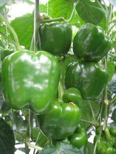 Pepper - Paprika - Puhtaastikotimainen
