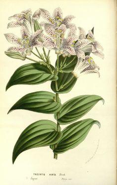 """Tricyrtis hirta, Hook. -- """"Flore des serres et des jardins de l'Europe"""", v.15 (1862-65), by Louis van Houtte"""