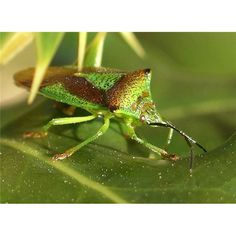 """Types of Bugs – While there have to do with 500 various species of bugs or insects, only three are in fact understood to feed on human beings. While crawlers, ants, and also flies are considered """"residence bugs,"""" most home . Insect Orders, Shield Bugs, Bug Type, Leafhopper, Scale Insects, Types Of Bugs, Stink Bugs, Pet Organization, Beetle Bug"""