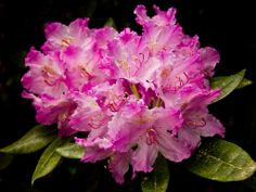 Rhododendron Wallpaper, Plants, Flowers, Wallpapers, Flora, Plant, Wall Papers, Planting