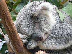 San Diego Zoo koala bear