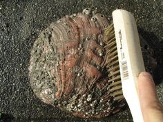 The Only Way to Clean an Abalone Shell - Spearboard.com - The World's Largest Spearfishing Diving Social Media Forum