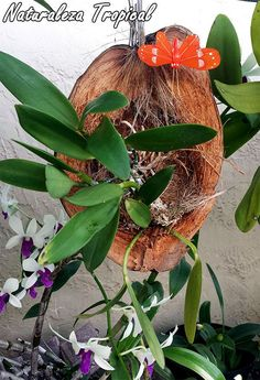 Orquídea creciendo en coco                                                                                                                                                                                 Más