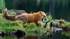 Red fox mother play-fighting with kit (© Konrad Wothe/Minden Pictures)