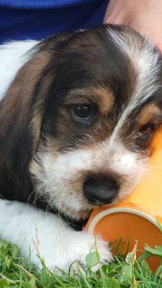 Grand basset griffon vendeen Joep #puppy #gbgv
