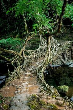 A Bridge made of the roots of rubber trees, this one is about 30 years old - Northern India