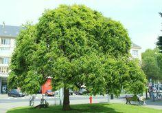 5 Δέντρα Ταχείας Ανάπτυξης για σκιά - Φυταγορά Σερρών