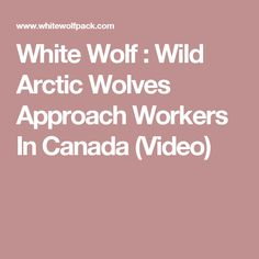 White Wolf : Wild Arctic Wolves Approach Workers In Canada  (Video)