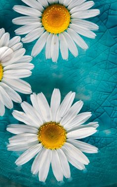 56 Ideas Wallpaper Flores Margaridas For 2019 Turquoise Wallpaper, Daisy Wallpaper, Sunflower Wallpaper, Turquoise Background, Nature Wallpaper, Wallpaper Backgrounds, Iphone Wallpaper, Phone Backgrounds, Flowers Background