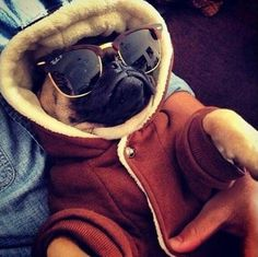 This Pug is cooler than we'll ever be! #davidgoliath http://www.chicksrule.co.uk/catalogsearch/result/?q=pugly