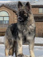 Shiloh shepherd. related to german shepherds. bigger and gentler. not as much aggressiveness and gentle giants. still protective, just watered down. and so fluffy!!<3
