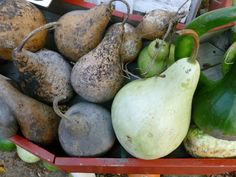 From seed to garden, in this video you will see how to grow gourds that can later be used for all sorts of crafts. How To Dry Gourds, Gourds Birdhouse, Birdhouses, Decorative Gourds, Painted Gourds, Down On The Farm, Gourd Art, Clay Pots, Garden Plants