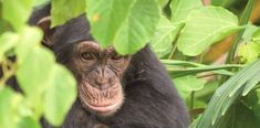Chimp living on Baboon Islands at Chimp Rehabilitation Project camp