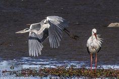 Heron and Stork5