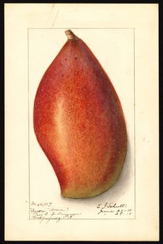 "Artist: Schutt, Ellen Isham, 1873-1955  Scientific name: Mangifera indica  Common name: mangoes  Variety: Ameeri   ""U.S. Department of Agriculture Pomological Watercolor Collection. Rare and Special Collections, National Agricultural Library, Beltsville, MD 20705"""