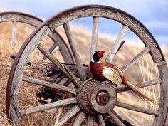 Pheasant on a wagon wheel