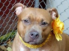 TO BE DESTROYED - 11/10/13 Manhattan Center  My name is CHLOE. My Animal ID # is A0888216. I am a spayed female tan and white pit bull mix. The shelter thinks I am about 4 YEARS old.  I came in the shelter as a OWNER SUR on 11/01/2013 from NY 10457, owner surrender reason stated was MOVE2PRIVA. I came in with Group/Litter #K13-158833. https://www.facebook.com/photo.php?fbid=700690629943819&set=a.611290788883804.1073741851.152876678058553&type=3&theater