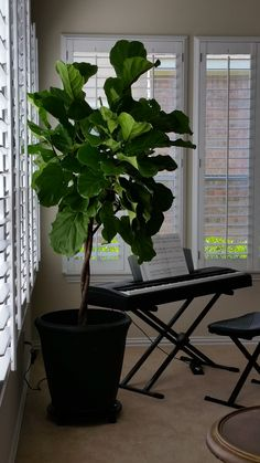 i love my job the challenge from a client in san antonio locate a - Fiddle Leaf Fig Tree Care