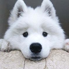 Samoyed puppy Mais
