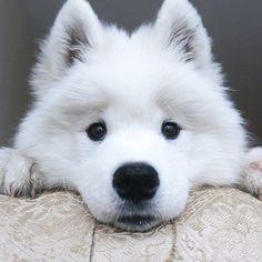 Samoyed puppy                                                                                                                                                                                 Mais