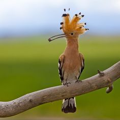 Hoopoe...this bird looks bat shit crazy...i love him...he looks like I feel and I'm not even kidding