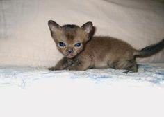 Brenwod Burmese Cattery | Burmese Cats and Kittens for Sale in Rancho Cucamonga, San Bernardino County, California | California Burmese Cat Owners Connection