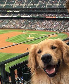 "Polubienia: 56.1 tys., komentarze: 436 – Golden Retrievers (@goldenretrievers) na Instagramie: """"I freaking LOVE baseball."" By @champ_and_duchess"""