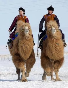 Mongols riding Bactrian Camels