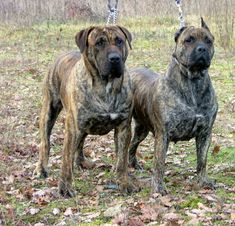 Perro de Presa Canario Canary Islands 22 to 26 inches 85 to 143 pounds Dog Breeds Chart, Lazy Dog Breeds, Dog Breeds Little, Giant Dog Breeds, Giant Dogs, Big Dogs, Large Dogs, Mastiff Dog Breeds, Mastiff Puppies