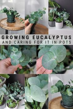 Learn all about eucalyptus plant care, including how to care to potted eucalyptus and how to help your plant thrive indoors! Diy Gardening, Gardening For Beginners, Container Gardening, Vegetable Gardening, Succulent Containers, Container Flowers, Container Plants, Eucalyptus Plante, Eucalyptus Plant Indoor