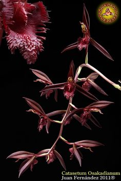 catasetum osakadianum | variação vinho. | JuanFGomez | Flickr