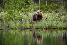 Three bear cubs learning to survive in the woods. Mama bear is teaching and watching over. East from Lake Oulujärvi, Finland/ June 2018 Bear Cubs, Brown Bear, Nature Photos, Finland, Emo, Scenery, Survival, Woods, June