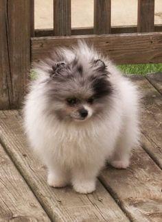 5 Best Dog Breeds for indoor pets, great pics great breeds!