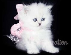 Chinchilla Doll Faced Persians Kittens available Silver Persian Kittens for Sale