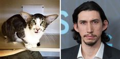 Kylo Ren is everyone's fourth or fifth most favorite character from Star Wars Episode VII: The Force Awakens. And this cat is his doppelganger. Well, the doppelganger of the actor Adam Driver, who plays Kylo Ren – the cat is no Sith Lord! The kitty has the ears, the mouth and a general facial structure that could be interpreted as Driver-like. Personally, I'm waiting for a TR-8R hamster to appear.