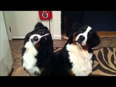 Holiday Jammin' Berners. Synchronized head twisting - new Olympic sport?
